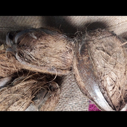 Dried Husked Coconut