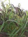 Chakhow Pure Organic Black Rice Seeds