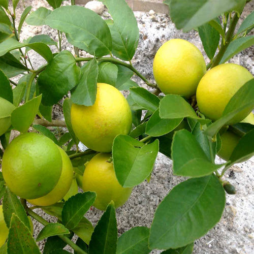 Meyer Lemon Plant At Rs 60 Piece Lemon Tree Id 14060777112