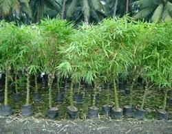 Buddha Bamboo Plant