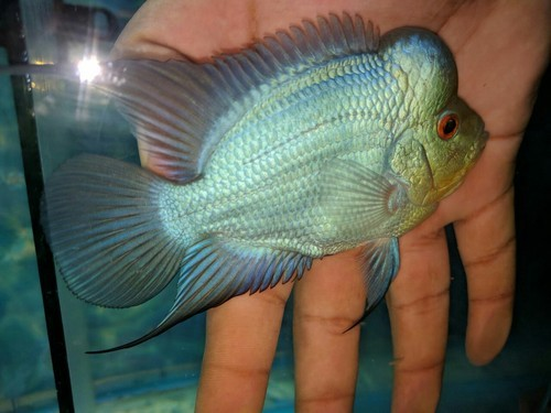 Thai Silk Flowerhorn Fish Food - Flowers Healthy
