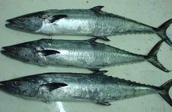 Black King Fish