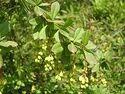 Barberis Root Herb