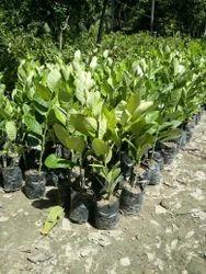 Thai Custard Apple Plant