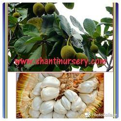 White Jack Fruit Plant