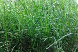 Lemon Grass Plant