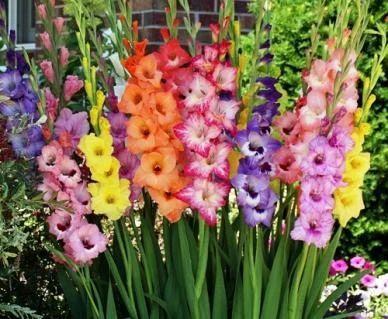 Gladiolus Flower At Rs 4 Piece Gladiolus Flower Id 11749254988