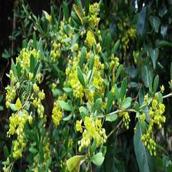 Berberis Aristata 95% By HPLC