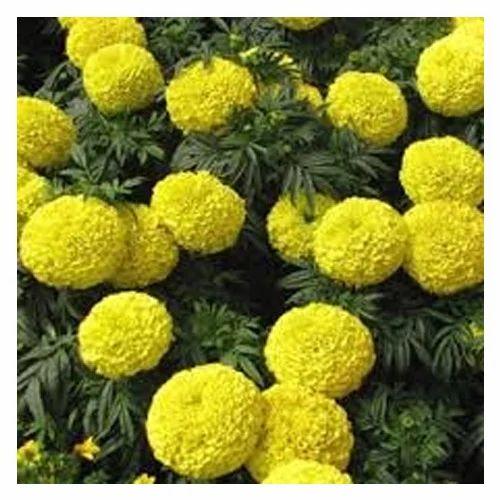 Fresh yellow marigold flower yellow marigold flowers flower fresh yellow marigold flower mightylinksfo