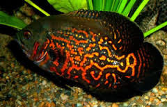 Black And Red Oscar Fish