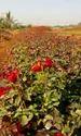 Top Secret (taj Mahal) Dutch Rose Plant