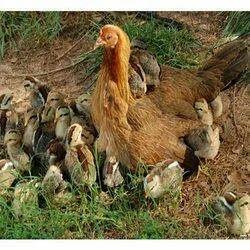 Hen in Pune, मुर्गी, पुणे - Latest Price & Mandi Rates