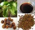 Celastrus Paniculata Seed