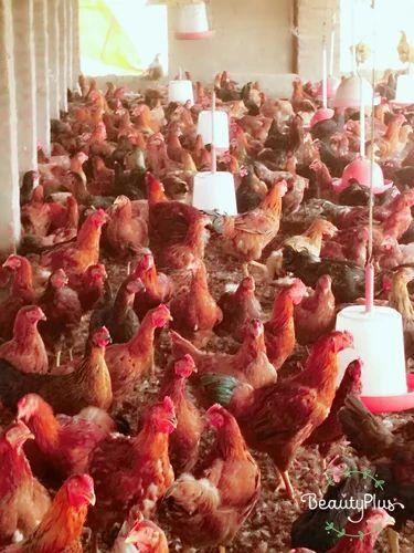 Saini Poultry Farm, Ambala - Retailer of Desi Murga and Desi Hen