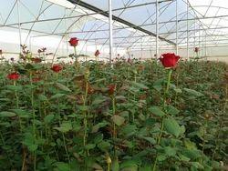 Bordeaux Rose