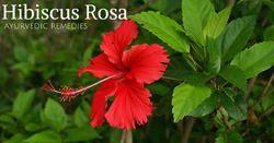 Gudhal Flower HIBISCUS