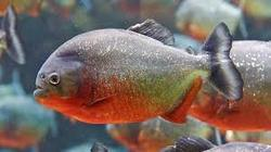 Piranha Aquarium Fish