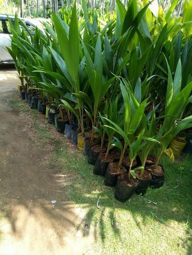 Dxt Coconut Nursery Seedlings