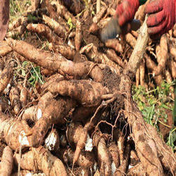Sweet Potatoes Pan India Cassava Root / Tapioca Root / Buy and Sell, Packaging Size: 50 Kg