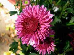 Crysanthemum Flowers