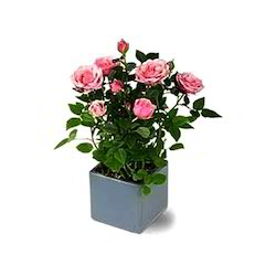 Rose Pot Plant At Rs 40 Piece