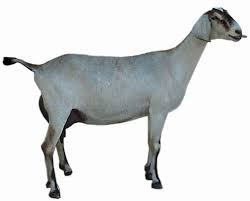 Pet Goat - Wholesale Price & Mandi Rate for Pet Goat