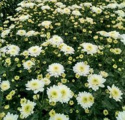 Sevanthi Plants