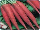 Saga Pralav Carrot