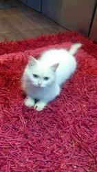 Turkish Angora Cat For Sale At Pet Destination In Orbit Villa Lane Mumbai Pet Destination Id 10962780430