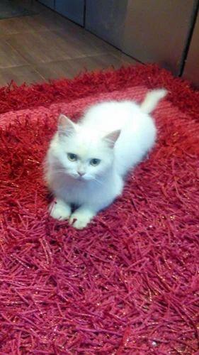 28214686ab Turkish Angora Cat For Sale At Pet Destination in Orbit Villa Lane ...