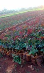 Top, Secret Dutch, Rose, Plants