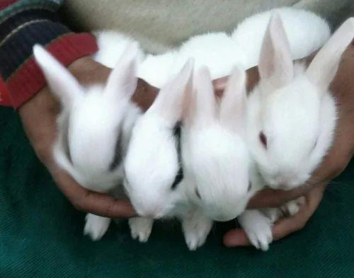 Image of: Baby Bunnies Male Baby Rabbit Indiamart Male Baby Rabbit Rs 800 pair Baby Rabbits Id 18488803955