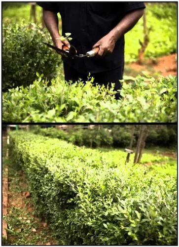 Henna Bio Fence Henna Live Hedge S Kumar S Agri Business