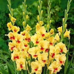 Gladiolus Bulb Plant