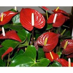 Anthurium Plant