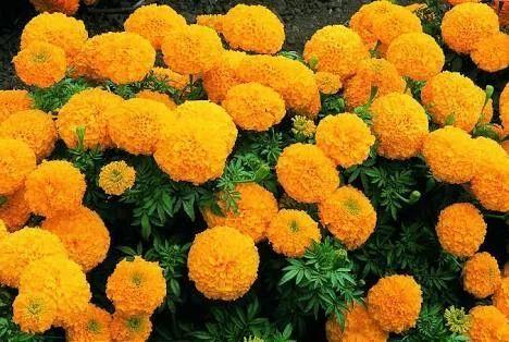 Marigold flowers orangeyellow at rs 80 kg ruikar colony marigold flowers orangeyellow mightylinksfo