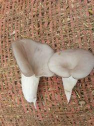 A Grade Grey Mushroom, Packaging Type: Carton, Packaging Size: 5 Kg
