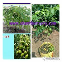 Ambarella- Amrajum- Thai Amra Fruit Plant