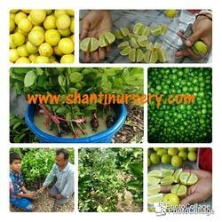 Thai Seedless Kagzi Lemon Plant