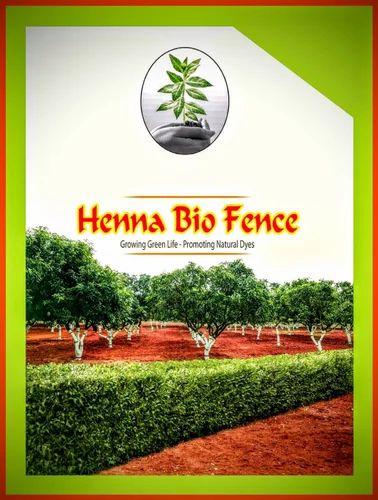 Hajani Variety Henna Seeds Jubilee Hills Hyderabad S Kumar S