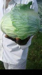 Green Fresh Cabbage, 5 Kg, Packaging: Plastic Bag or Polythene Bag