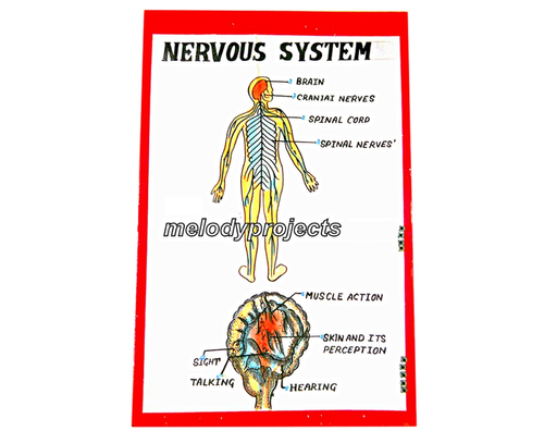 Nervous System With Lights Model Human Anatomy Models Melody