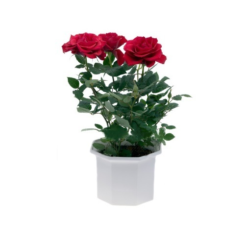 Red Rose Pot Plants At Rs 40 Piece