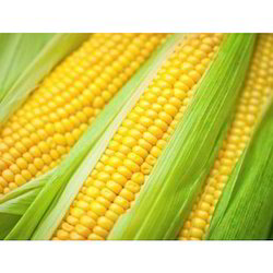 Yellow Maize For Human Use