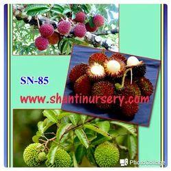 Pulasan Fruit Plant