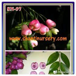 Golub Jamun Plant