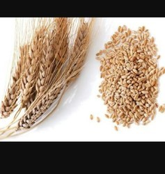 Indian Wheat, High In Protein