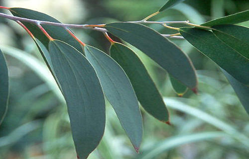 Image result for eucalyptus plants