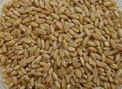 Desi Wheat Grain