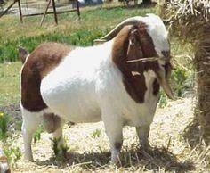 Male Boer Bucks, Farming And Pet Animals | Vijay Farms Dot